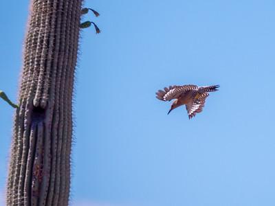 Gila Woodpecker Sonoran Desert Museum Tucson AZ southeast Arizona June 6-12 2019-1066922