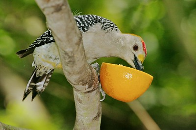 A Golden-fronted Woodpecker visits the backyard oasis of Allen Williams [April; Pharr, Texas]Rio Grande Valley, Lower Rio Grande Valley, Texas bird