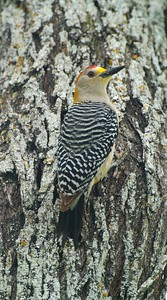 Golden-fronted Woodpecker [April; Sick Dog Ranch near Alice, Texas]
