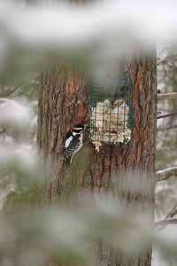 Hairy Woodpeckers supplement their  diet with suet from a feeder [March; Carlton County, Minnesota]