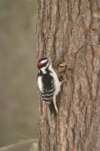 Hairy Woodpecker [March; Carlton County, Minnesota]