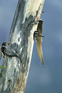 Ladder-backed Woodpecker nest in Agave Yucca Big Bend National Park TX 152_5207 JPG