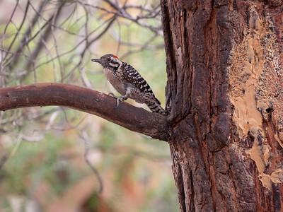 Ladder-backed Woodpecker Dave Jasper's feeders Chiricahua Mountains near Portal southeast Arizona June 6-12 2019-1055745