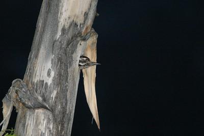 Ladder-backed Woodpecker nest in Agave Yucca Big Bend National Park TX 152_5214 JPG
