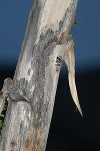 Ladder-backed Woodpecker nest in Agave Yucca Big Bend National Park TX 152_5215 JPG