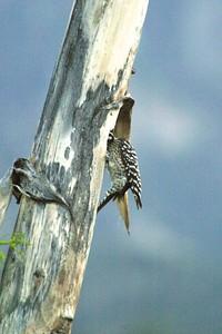 Ladder-backed Woodpecker nest in Agave Yucca Big Bend National Park TX 152_5204 JPG