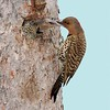 Northern Flicker female feeding lone nestling [June; Gunflint Trail, Superior National Forest, Cook County, Minnesota]