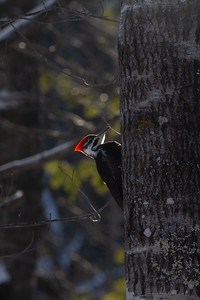 Pileated Woodpecker Skogstjarna Carlton County MN -0516