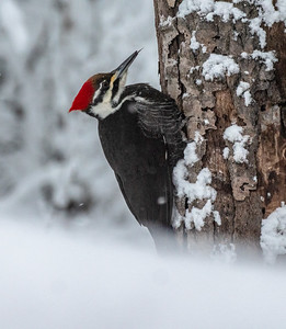 Pileated Woodpecker Skogstjarna Carlton County MNP1000597