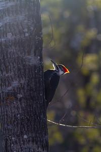 Pileated Woodpecker Skogstjarna Carlton County MN -0510