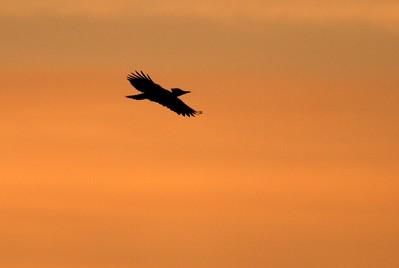 Pileated Woodpecker CR47 Sax-Zim Bog MN IMG_1572