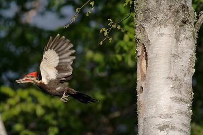 Pileated Woodpecker removes fecal sac from nest hole [June; Gooseberry Falls State Park, Castle Danger, Minnesota]