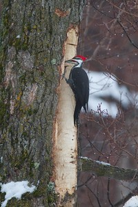 Pileated Woodpecker old Kenwood School Duluth MN IMG_0072784
