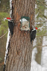 Pileated Woodpeckers supplement their carpenter ant diet with suet from a feeder [March; Carlton County, Minnesota]