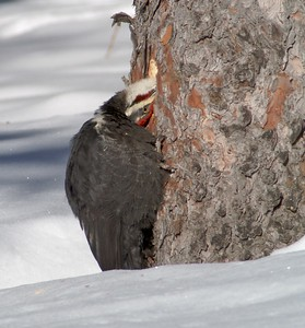 A male Pileated Woodpecker excavates a spruce searching for carpenter ants [February; Duluth, Minnesota]