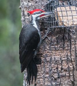 Pileated Woodpecker at suet bird feeder Skogstjarna Carlton County MN DSC03677
