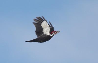 Pileated Woodpecker Owl Ave feeders Sax-Zim Bog MN IMG_0054222