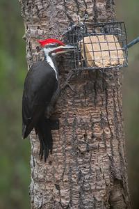 Pileated Woodpecker at suet bird feeder Skogstjarna Carlton County MN DSC03680