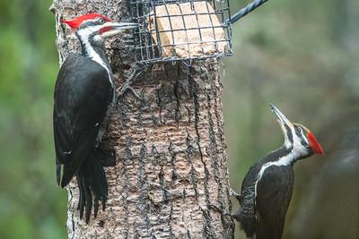 Pileated Woodpecker at suet bird feeder Skogstjarna Carlton County MN DSC03685