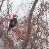 Occasionally Pileated Woodpeckers will eat crabapples to supplement their ant diet [February; Wrenshall, Carlton County, Minnesota]