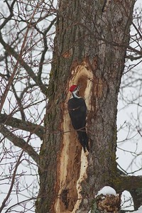 Pileated Woodpecker old Kenwood School Duluth MN IMG_0072801