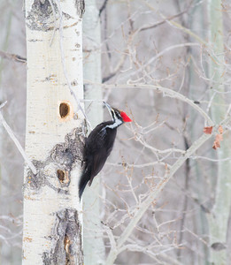 Pileated Woodpecker excavating aspen Glacial Ridge National Wildlife Refuge Polk County MNIMG_0484
