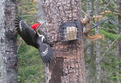 Pileated Woodpecker Skogstjarna Carlton County MN DSC07841