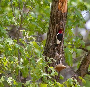 Red-headed Woodpecker Necedah National Wildlife Refuge Necedah WI -1172
