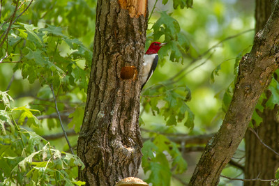 Red-headed Woodpecker Necedah National Wildlife Refuge Necedah WI -1179