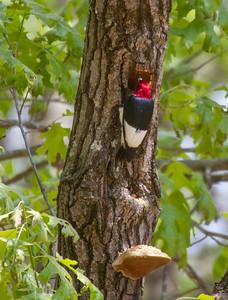 Red-headed Woodpecker Necedah National Wildlife Refuge Necedah WI -1176