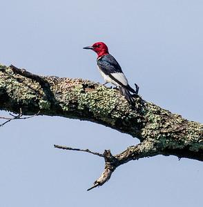 Red-headed Woodpecker Necedah National Wildlife Refuge Necedah WIIMG_2283