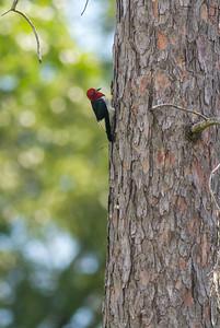 Red-headed Woodpecker Necedah National Wildlife Refuge Necedah WIIMG_2293
