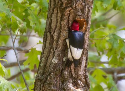 Red-headed Woodpecker Necedah National Wildlife Refuge Necedah WI -1173