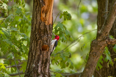 Red-headed Woodpecker Necedah National Wildlife Refuge Necedah WI -1178