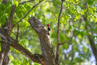 Red-headed Woodpecker Necedah National Wildlife Refuge Necedah WI -1020