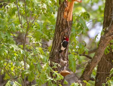 Red-headed Woodpecker Necedah National Wildlife Refuge Necedah WI -1169