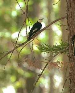White-headed Woodpecker Sequoia National Park CA 264_6446 JPG