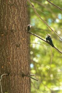 White-headed Woodpecker Sequoia National Park CA 264_6415