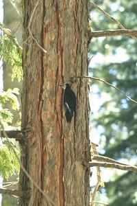 White-headed Woodpecker Sequoia National Park CA 263_6388