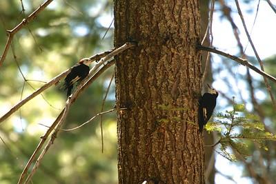 White-headed Woodpecker Sequoia National Park CA 264_6404