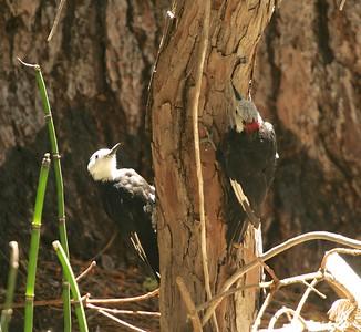 White-headed Woodpecker Sequoia National Park CA 264_6429 JPG