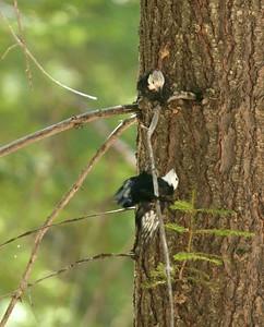 White-headed Woodpecker Sequoia National Park CA 264_6424
