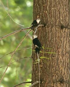 White-headed Woodpecker Sequoia National Park CA 264_6427