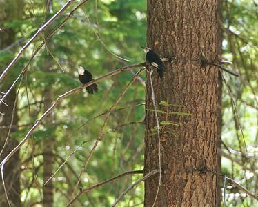 White-headed Woodpecker Sequoia National Park CA 264_6420