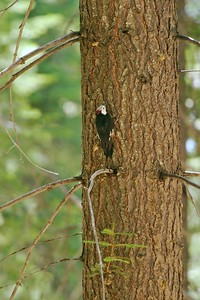 White-headed Woodpeckers make the big pine forests of California their home [August; Yosemite National Park, California]