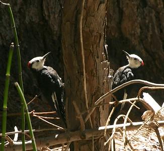 White-headed Woodpecker Sequoia National Park CA 264_6432 JPG