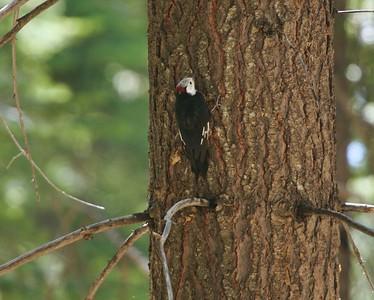 White-headed Woodpecker Sequoia National Park CA  CA 264_6417