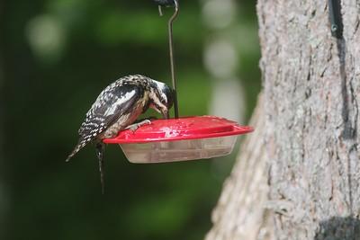 Yellow-bellied Sapsucker at hummingbird feeder Skogstjarna Carlton Co MN IMG_7432