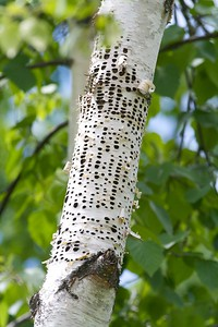 Yellow-bellied Sapsuckers drill holes in birches and maples to not only access the sweet sap but to also feast on the insects that are attracted to the oozing sap [June; Itasca County, Minnesota]
