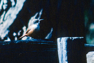 Canyon Wren Grand Canyon National Park AZ SLIDE SCAN BIRDS-42